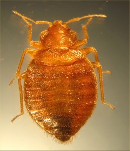 Bed Bug Before Feeding