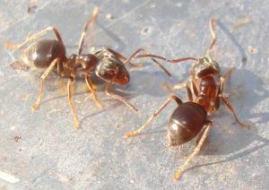 Cornfield Ant