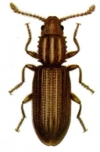sawtoothed-grain-beetle